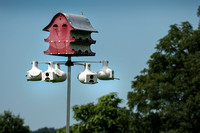 Rescued Purple Martins released back into the wild