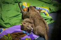 New lion cubs at Six Flags Great Adventure and Safari