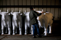 Herd of life-size fiberglass oxen arrives in Hopewell