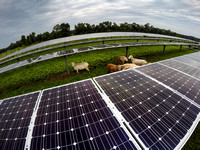 Sheep keep the weeds down at The Lawrenceville School's solar field